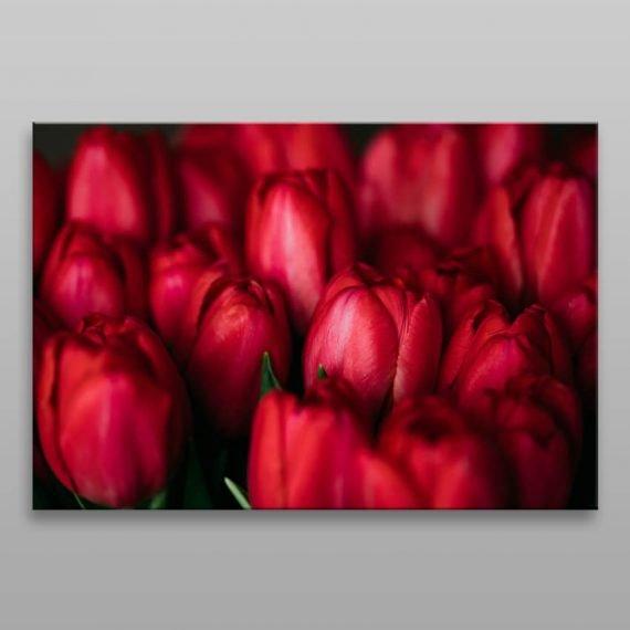 Obraz červené tulipány